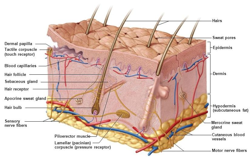 The Structure And Function Of The Skin